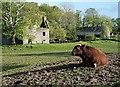 NX6348 : A bull at Borgue House Farm by Walter Baxter