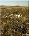 SX5887 : Cotton grass east of Lints Tor by Derek Harper