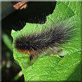 TM4695 : Garden Tiger caterpillar near Landspring Dyke, Aldeby by Roger Jones