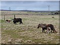 HP6212 : Shetland ponies at Buddigarth by Oliver Dixon