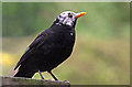NT4936 : A white-headed blackbird by Walter Baxter