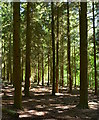 SU6475 : Light pine woodland in Sulham Wood, Berkshire by Edmund Shaw