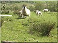 NO1462 : Sheep with lambs in Glen Shee by Stanley Howe