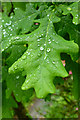 SN1507 : Raindrops on an oak leaf by David Lally