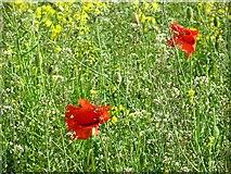 NT5169 : Poppies, Bolton by Richard Webb