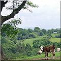 SJ9892 : Calf and Sheep by Stephen Burton