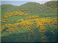 NS8597 : Whin on the Ochils by Alan Murray-Rust