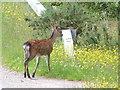 NR8367 : Sika doe by sylvia duckworth