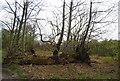 TQ6968 : Fallen tree, Cobham Park by N Chadwick