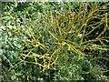 TL1436 : Lichen on a dead bush, Chapel Road by Humphrey Bolton