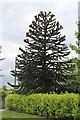 TF1083 : Monkey Puzzle Tree, Wickenby Road, Lissington by J.Hannan-Briggs