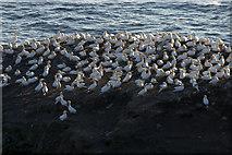 HP5917 : Gannets (Morus bassanus) on Clingera Stack, Hermaness by Mike Pennington