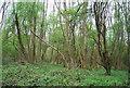TQ6968 : Cobham Wood by N Chadwick