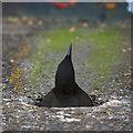 J5082 : Black Guillemot, Bangor by Rossographer