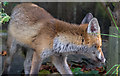 TQ2995 : Fox in Garden, London N14 by Christine Matthews