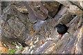 HP5606 : Black Guillemot (Cepphus grylle), Punds Geo, Westing by Mike Pennington