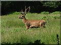 SU9772 : Windsor Great Park, red deer by Alan Hunt