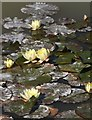 SX5759 : Water lilies,  Smallhanger Waste by Derek Harper