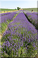 TL1932 : Lavender Fields, Cadwell Farm, Hitchin Lavender, Hitchin, Hertfordshire by Christine Matthews