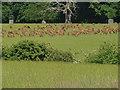 SU9773 : Windsor Great Park, deer herd by Alan Hunt