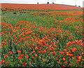 TL4250 : Field planted with Oilseed Rape by Julian Paren