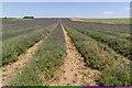 TL1932 : Lavender Fields, Cadwell Farm, Hitchin, Hertfordshire by Christine Matthews