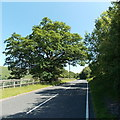 SO1506 : Dominant New Road tree near Bedwellty Pits by Jaggery