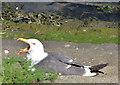 J3474 : Grounded gull, Belfast by Albert Bridge