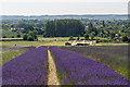 TL1932 : Lavender, Cadwell Farm, Hitchin Lavender, Hertfordshire by Christine Matthews