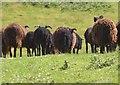 SX9253 : Hebridean sheep near Man Sands by Derek Harper
