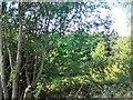 SJ8797 : Trackside Trees by Gerald England