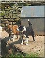 SD9097 : Sheepdogs at Usha Gap by Karl and Ali