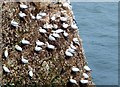 TA1974 : Gannets at Bempton Cliffs by Barbara Carr