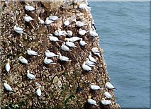 TA1974 : Gannets at Bempton Cliffs by Barbara Carr