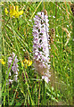 SE7269 : Common spotted orchid by Pauline E