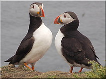 HU4007 : Sumburgh Head: a pair of puffins by Chris Downer