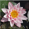 SE9364 : A perfect, pink water lily by Pauline E