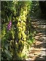 SX6974 : Foxglove by wall, Foxworthy by Derek Harper