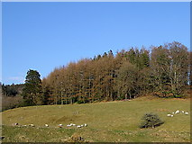 SN7673 : Sheep pasture, Hafod estate by Rudi Winter