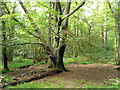 TQ2130 : Beech tree, St. Leonard's Forest by Robin Webster