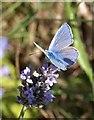 SX9065 : Butterfly on lavender by Derek Harper