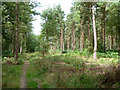 TQ2130 : Path and pines,  St. Leonard's Forest by Robin Webster