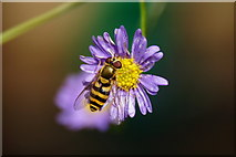 SJ3999 : Syrphus sp. hoverfly, Melling by Mike Pennington