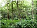 TQ2733 : Open woodland with bracken, Tilgate Forest by Robin Webster