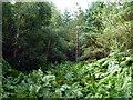 TQ2733 : Woodland with bracken, Tilgate Forest by Robin Webster