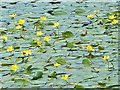 SO1103 : Yellow Water Lilies, Parc Cwm Darran Lake by Robin Drayton