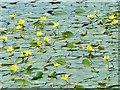 SO1103 : Yellow Water Lilies, Parc Cwm Darran Lake by Robin Drayton