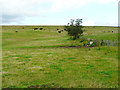 NY6067 : Cattle grazing on a hill by Rose and Trev Clough