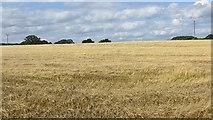SO6462 : Barley, Sweet Green by Richard Webb