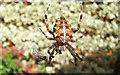 TM0127 : Garden Spider (Araneus diadematus) by Peter Pearson